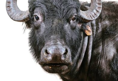 after-all-how-did-the-buffalo-solve-the-case-of-theft-know-here