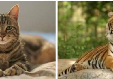 The cat was ordered online for 6 lakh rupees, the tiger came out of the box