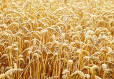 पंजाब पिछड़ा : गेहूं की खेती में मध्य प्रदेश निकला आगे, इस साल 135 लाख मीट्रिक टन खरीद का लक्ष्य